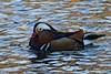 IMG_4220 (LezFoto) Tags: mandarinduck mandarin duck colourful aixgalericulata swansgeeseandducks scotland unitedkingdom uk canoneos700d sigma 700d canon 120400mmf4556dgapooshsm