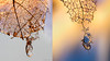 leaf skeletons (marianna_a.) Tags: p1630432 diptych leaf structure macro veins skeleton fall autumn winter mariannaarmata plant nature abstract bokeh water drop droplet meniscus abstrackje