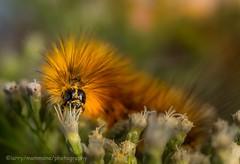 Yellow Bear (lastminutephoto) Tags: larrymammone caterpillar yellow bear virginian tiger moth spilosoma virginica insect macro nature fuzzy yelow tan orange gold eating polinating nj