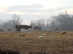Deer (Andrew Penney Photography) Tags: deer nature mule buck antlers pumkins pumpkinfield squash eating feeding wild mammals animals