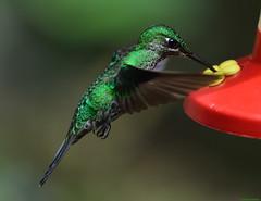 Green Hummingbird. (Carlos Arriero) Tags: monteverde costarica hummingbird colibrí carlosarriero color colour colors nature naturaleza natgeo dof bokeh bird pájaro nikon ave volar d5200 tamron 70200f28 f28 green verde