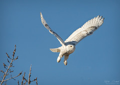 Snowy Owl (Nick Scobel) Tags: snowy white snow owl bubo scandiacus winter michigan irruption migration invasion majestic feathers pattern flight take off