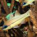 Apogon sealei