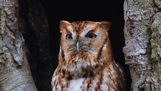 Eastern Screech Owl at the Jersey Shore   2017 - 1