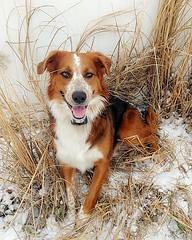 Snow Aussie (kingkuehn92) Tags: aussieshepherd aussie dog puppy pup michigan snow winter december love pretty family happy fun 2017