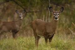 White Tailed Deer (Rob E Twoo) Tags: canada toronto humberriver naturaleza explore adventure outdoor wildlife nature