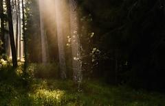 Światła jesieni (daamiank) Tags: fog światło light las 50mm f45 160 manual nikon polska poland green pinus jesień autumn