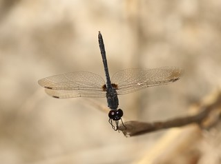 Black Percher (Diplacodes lefebvrii) Male