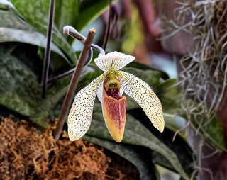 Lady's Slipper Orchid --- Frauenschuh-Orchidee --- Orquídea Zapatilla de dama