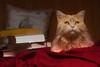 45/52 It's the little things .... (FocusPocus Photography) Tags: linus katze kater cat gato tier animal pet haustier bücher books decke blanket regentag rainyday chat