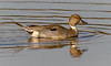 Pintail Drake (tresed47) Tags: 2017 201711nov 20171103bombayhookbirds birds bombayhook canon7d content delaware ducks fall folder northernpintail november peterscamera petersphotos places season takenby us ngc