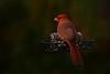 Northern Cardinal - male (deanrr) Tags: northerncardinal red bird redbird nature outdoor alabamanature feeder backyardbird morgancountyalabama alabama lowkey malenortherncardinal male food 2017 autumn