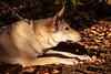 Vločenka - Lurking (Crones) Tags: canon 6d canoneos6d canonef24105mmf4lisusm 24105mmf4lisusm 24105mm vločka csv čsv československývlčák canislupusfamiliaris vlčák vlcak dog wolfdog