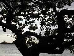 mauritius black lace (kexi) Tags: mauritius ilemaurice africa tree black silhouette evening samsung wb690 october 2016 instantfave
