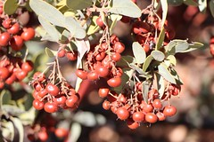 123 Ripe Manzanita Apples on the south side of Oakzanita Peak (_JFR_) Tags: hiking cuyamacaranchostatepark cuyamaca oakzanitatrail manzanita apples