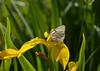 2017-06-16-17 (Hotaru Nei) Tags: aporiacrataegi aporia бабочкиновосибирскойобласти