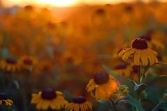 glorious light (bnbalance) Tags: orange flowers sun sunset light nature