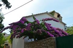 Bougainvillea [Velj Losjni - 10 August 2017] (Doc. Ing.) Tags: 2017 losinj croatia summer seaside velilosinj bougainvillea purple plant flowers kvarnergulf kvarner