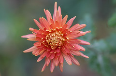 Nevena Uzurov - Chrysanthemum (Nevena Uzurov) Tags: chrysanthemum floral garden autumn november petals nevenauzurov serbia coth5