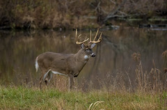 Whitetail Buck during rut (snooker2009) Tags: whitetail buck big huge rut fall november pennsylvania deer nature wildlife