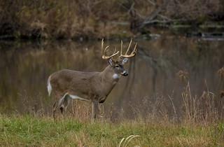 Whitetail Buck during rut