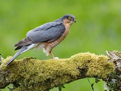 "Deadly beauty... (coopsphotomad) Tags: sparrowhawk hawk bird raptor ""bird prey"" predator animal wildlife nature wild bokeh canon perch branch green grey blue"