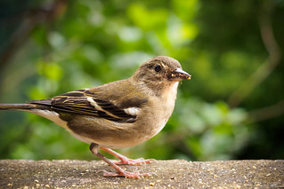 Female Chaffinch - Madeira, Portugal
