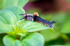 Caterpillar (arvinbenitez) Tags: caterpillar butterfly insect nature
