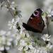 European peacock (Aglais io) on Prunus spinosa, Parc du Rouge-Cloître, Forêt de Soignes, Brussels