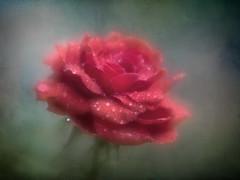 A Rose (Anne Worner) Tags: anneworner em5 lensbaby paraderose velvet56 bloom blossom blur closeup droplets f16 flora flower macro olympus petals red rose shallowdof texture miniature layers