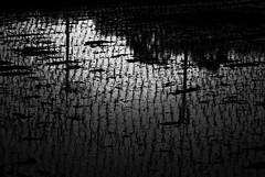 Rice Field Reflection (A. Bockheim) Tags: korea rice field spring reflection black white d7100