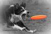 Catching it (Flemming Andersen) Tags: bordercolli pet nature catch dog fresbee outdoor round orange animal frederiksværk capitalregionofdenmark denmark dk