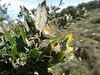 Stein-Eiche - Quercus ilex, NGID1501985710 (naturgucker.de) Tags: ngid1501985710 naturguckerde steineiche quercusilex 1750929062 1921017425 chorstschlüter