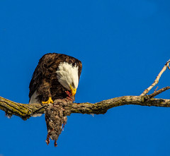 From the archives.... (Kevin Povenz Thanks for all the views and comments) Tags: 2015 february kevinpovenz westmichigan michigan ottawacounty ottawa ottawacountyparks grandravinesnorth grandriver cold early earlymorning baldeagle eagle bird birdsofprey canon60d sigma150500 nature wildlife outside outdoors