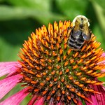 Stratford Ontario ~ Canada ~ Pink Coneflower with Bee   ~ Botanical Garden thumbnail