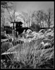 Grasses in a landscape BW (ronramstew) Tags: grasses garden dundeeroad forfar angus bw blackandwhite