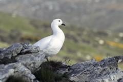 Male Kelp Goose- Carcass Island (Chantal Jacques Photography) Tags: falklandislands kelpgoose depthoffield bokeh wildandfree
