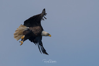 Bald Eagles of the Jersey Shore | 2017 - 105
