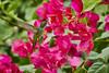 Antillean Crested Hummingbird (female) (ronmcmanus1) Tags: antigua bird caribbean nature outdoors animals wildlife jollyharbour stmarysparish antiguabarbuda
