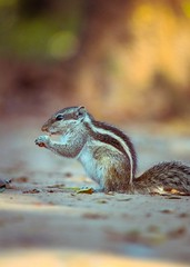 Eastern Chipmunk (ibtihajtafheem) Tags: chipmunk squirrels squirrel bird birds birdsphotography birdslife filter flickr colors color animals animal wildlife wildanimal wildlifephotography natgeo natgeotravel photography photographylove photographs photographylife photo photographer photos dayphoto