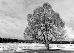 An old maple (tods_photo) Tags: ifttt 500px sky landscape winter cold old tree maple black white snow frost big
