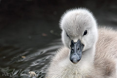 Fuzzy Baby (PamsWildImages) Tags: signet swan mute nature wildlife canada canon cute fuzzy baby pamswildimages pammullins