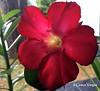 🌺 (✿ Graça Vargas ✿) Tags: flower graçavargas macro ©2017graçavargasallrightsreserved rosadodeserto lírioimpala adeniumobesum red appleiphone6s iphone 17701071217