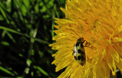 Climbing a dandelion (TJ Gehling) Tags: insect coleoptera beetle chrysomelidae leafbeetle cucumberbeetle spottedcucumberbeetle diabrotica diabroticaundecimpunctata plant flower asterales asteraceae dandelion taraxacum baxtercreek baxtercreekgatewaypark elcerrito