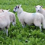 Welsh Lamb thumbnail