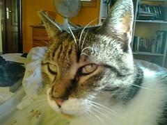 Xeri, a cat who lives in Galicia, North West Spain. (d.kevan) Tags: galicia ferrol cats xeri judithsflat spain interiors books bookshelves