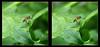 Hoverfly On Curly Leaf 1 - Parallel 3D (DarkOnus) Tags: pennsylvania buckscounty panasonic lumix dmcfz35 3d stereogram stereography stereo darkonus closeup macro insect hoverfly curly curled leaf parallel diptera