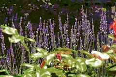 Lavender! (maginoz1) Tags: flowers abstract foliage contemporary art summer bulla melbourne victoria australia december 2017 canon g3x lavender