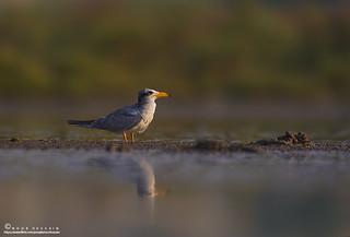 River tern.