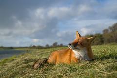 DSC00602 (Geert Rooyackers) Tags: fox redfox a7rii sonya7rii vulpesvulpes